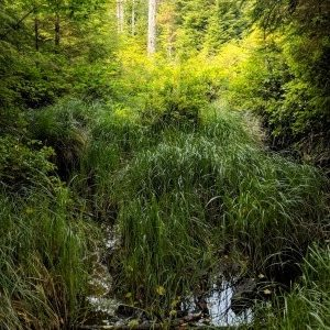forested wetland, wetland hydrology